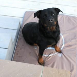 dog pad - dog